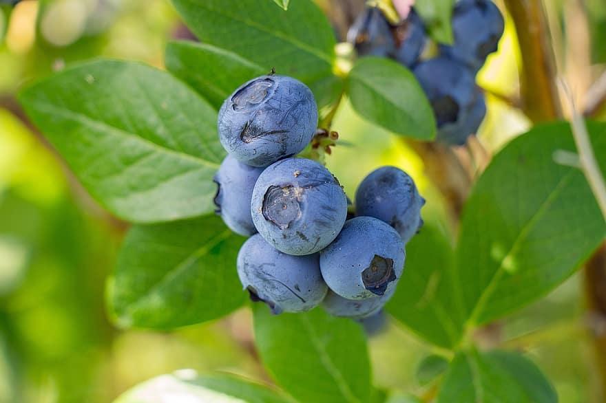 Blueberries for better eyesight
